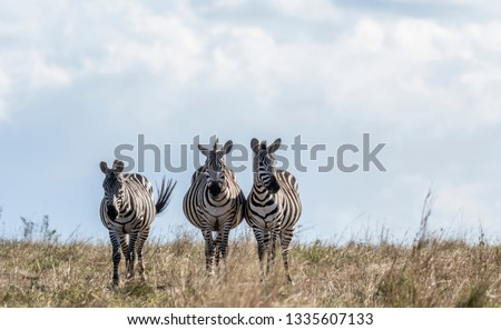 Zebras looking up for predators while feeding grass in Maasai Mara #1335607133