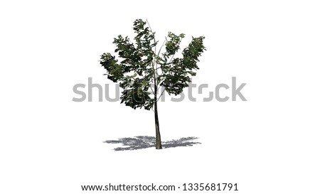 a single American Holly shrub with shadow on the floor - isolated on white background - 3D illustration #1335681791