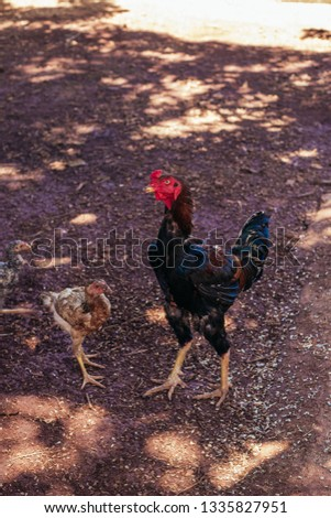 Young rooster next to chick walking on sand floor. #1335827951