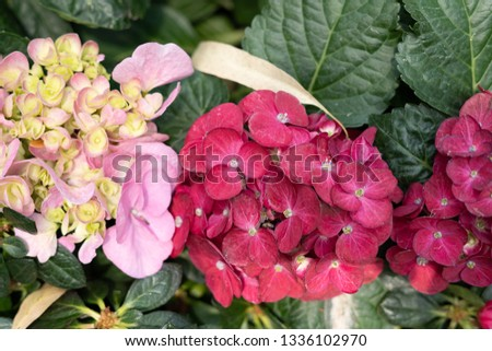 gorgeous colorful blooming  hydrangea flower from fresh garden for delighted and attractive environment. Detail of hydrangea flowers petal pink sweet for background #1336102970