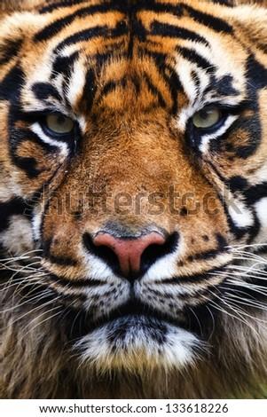 Tiger Close Up Portrait #133618226