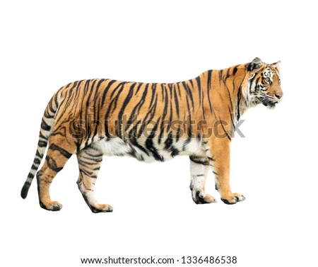 bengal tiger isolated on white background #1336486538