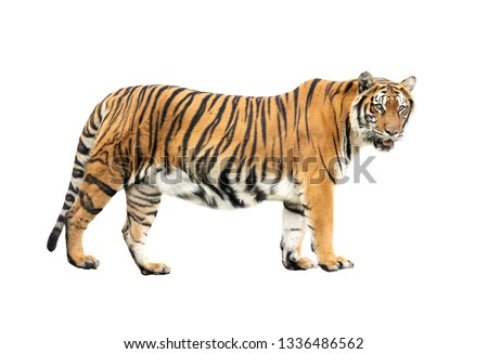 bengal tiger isolated on white background #1336486562