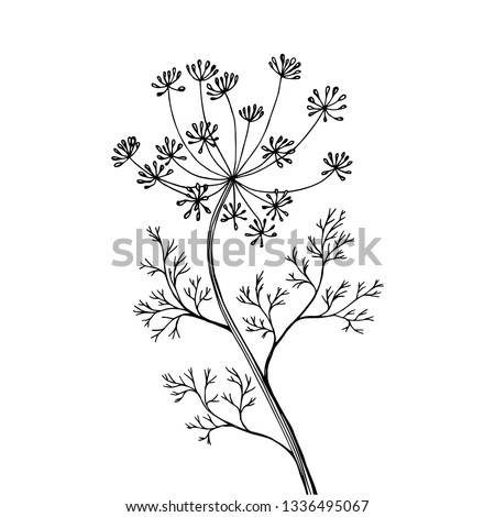 Fennel or dill. Vector illustration. Fragrant seasoning for dishes. Sticker for product packaging. Drawing, handmade.  Royalty-Free Stock Photo #1336495067