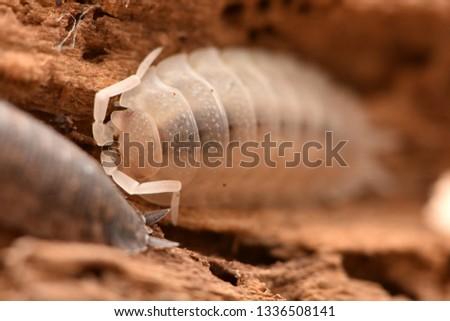 albinism common rough woodlouse - Porcellio scaber #1336508141