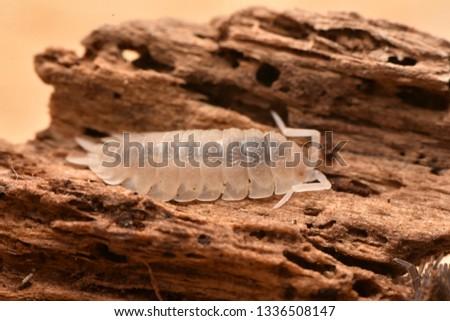 albinism common rough woodlouse - Porcellio scaber #1336508147