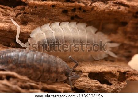 albinism common rough woodlouse - Porcellio scaber #1336508156