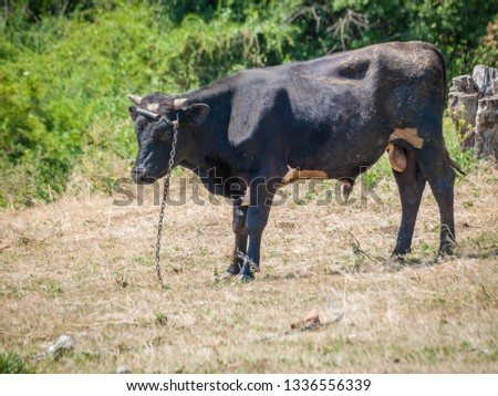 Young black bull tied with an iron chain in rural landscape on the background. Breeding cattle. #1336556339
