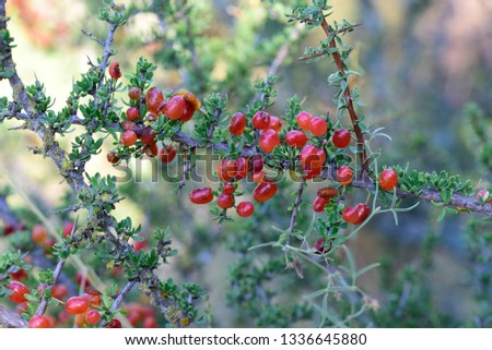 Small red wild fruits in the Pampas forest, Patagonia, Argentina #1336645880