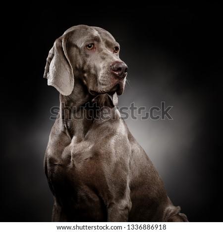 portrait of a beautiful young Weimaraner shot on a dark grey background #1336886918