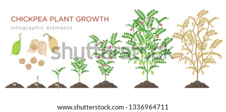 Chickpea plant growth stages infographic elements. Growing process of chickpeas from seeds, sprout to mature plant growing from soil, life cycle isolated on white background vector flat illustration. #1336964711
