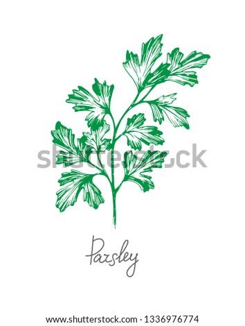 Hand drawn vector sketch of parsley branch. #1336976774