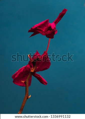 portrait of an orchid twig with two purple flowers withering, under a blue background, sao paulo, brazil #1336991132