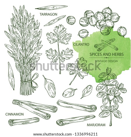 Collection of herb and spices: tarragon, coriander, cinnamon and marjoram . Vector hand drawn illustration. #1336996211