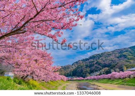 Kawazu Sakura in Minamiizu-cho, Kamo-gun, Shizuoka Prefecture #1337046008