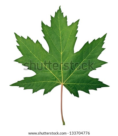 Green Maple Leaf as a spring and summer seasonal themed nature concept also an icon of the fall weather on an isolated white background. #133704776