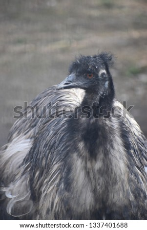 Closeup of a black Australian emu with orange eyes in a park in Germany #1337401688