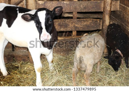 Fluffy and funny farm animals calf and lamb in the barn. Small farm animals #1337479895
