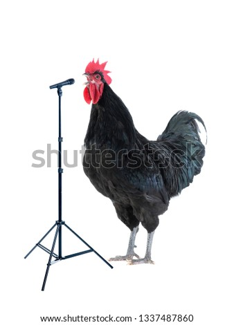 black rooster sings near microphone isolated on white background