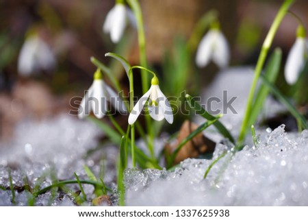 Snowdrops (Galanthus) in the spring forest. Harbingers of warming symbolize the arrival of spring. #1337625938