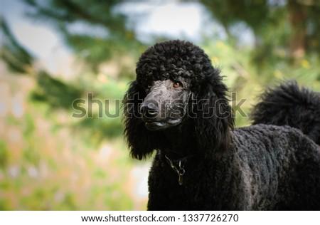 Standard Poodle dog outdoor portrait  #1337726270