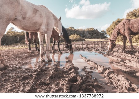 three horses drinking from a puddle  #1337738972