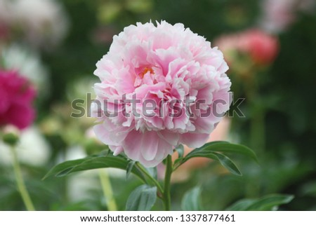 peony summer park flowers macro photo #1337877461