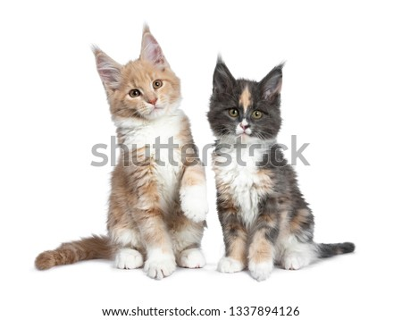 Two cute Maine Coon cat kittens sitting / playing beside each other looking beside camera. Isolated on white background. One paw lifted from ground. #1337894126