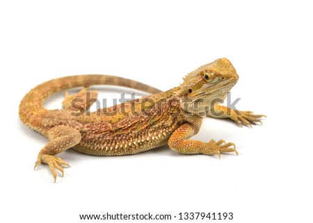 Lizard Bearded Dragon isolated on white background #1337941193