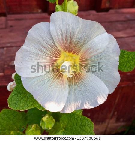 Hollyhock from my garden #1337980661