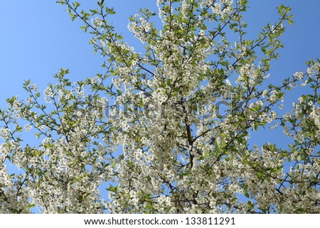 cherry tree branch covered with white flowers against the blue sky #133811291