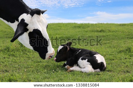 Close-up of mother Holstein cow's face watching over her tiny newborn calf laying in the meadow on a beautiful summer day #1338815084
