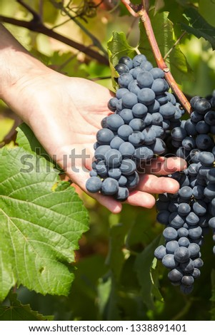 Grapes harvest. Farmers hands with freshly harvested black grapes. vineyard in Puglia, is in southern Italy, particularly Salento #1338891401