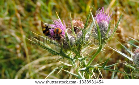 Bee on Purple thistle. Appennino mountains. Abruzzo, italy         #1338931454