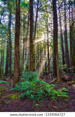 the sun rising through the redwoods #1339006727