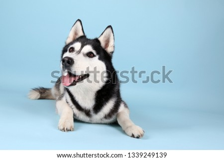 Adorable husky dog on color background #1339249139