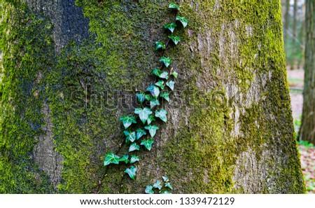 Mossy tree trunk leaves view. Moss on tree trunk background. Mossy tree trunk view. Mossy tree trunk scene #1339472129