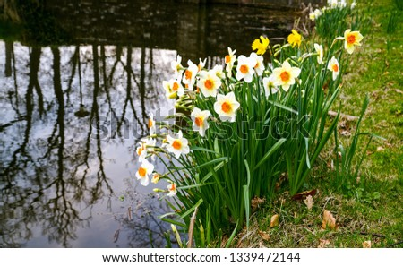 Daffodil flowers river shore scene. White daffodil flowers view. Daffodil flowers scene #1339472144