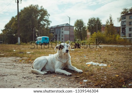 Homeless wild dog in old radioactive zone in Pripyat city - abandoned ghost town after nuclear disaster. Chernobyl exclusion zone. #1339546304