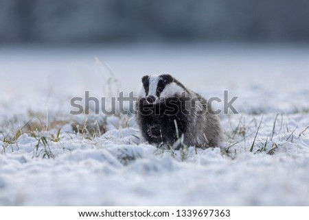 funny young badger running in snow  #1339697363