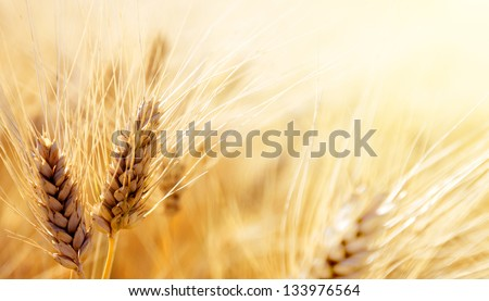 Wheat field #133976564