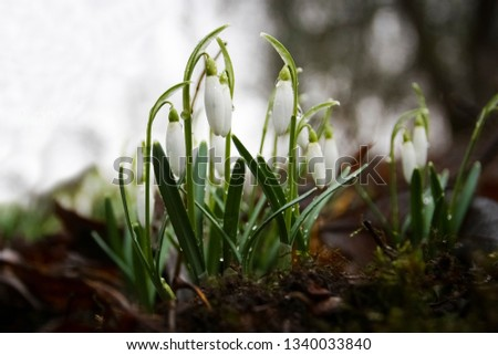 Snowdrop in forest. Spring nature composition. #1340033840