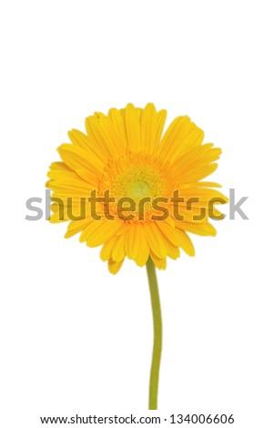 yellow gerbera daisy isolated on white