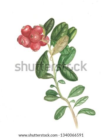 botanical pattern of plants.  cranberry #1340066591