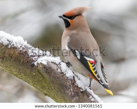 Waxwing bird animal #1340081561