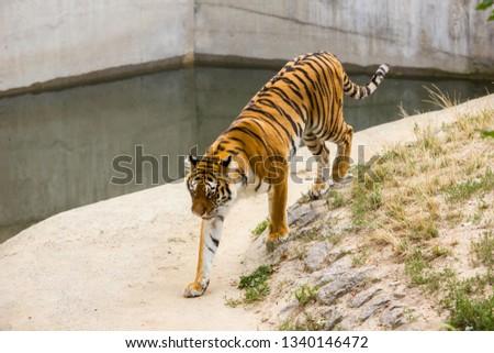 Young tiger walks  #1340146472