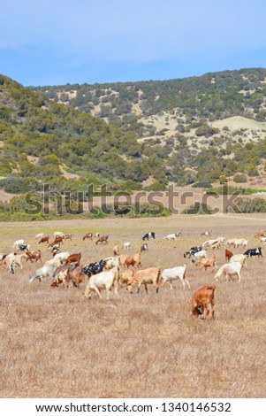 Amazing view of the Cypriot rural landscape taken with a herd of goats grazing on a dry field. Picture taken in beautiful and remote Karpas Peninsula, Turkish Northern Cyprus.