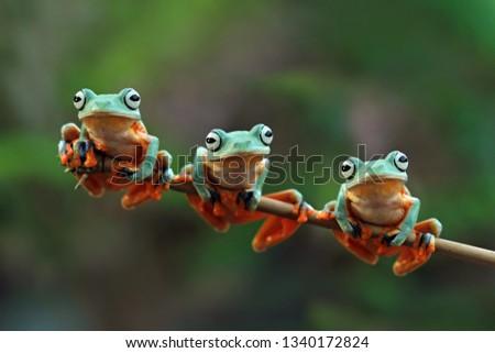 Flying frog on branch, rhacophorus reinwardtii #1340172824