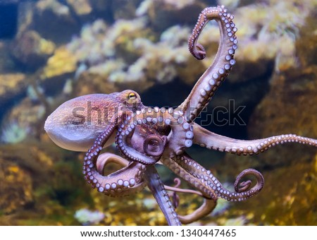 Close-up view of a Common Octopus (Octopus vulgaris) #1340447465