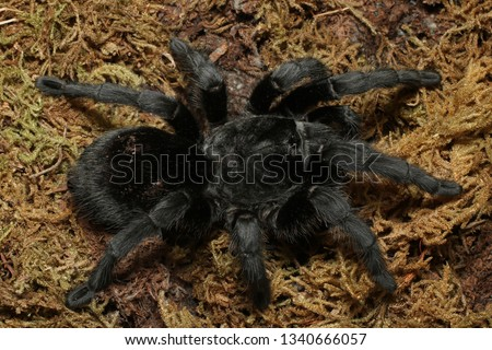 Brazilian Black Tarantula (Grammostola pulchra) A brilliantly black and large leg span spider, the Brazilian Black tarantula makes for a strikingly pretty pet.  #1340666057